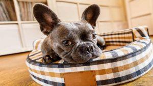 perro dentro de su camita y con las orejas en punta