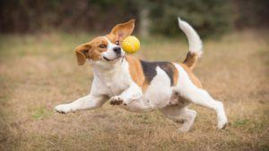 perro jugando e intentando atrapar la pelota