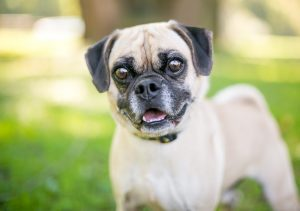 perro pequeno con ojos muy saltones