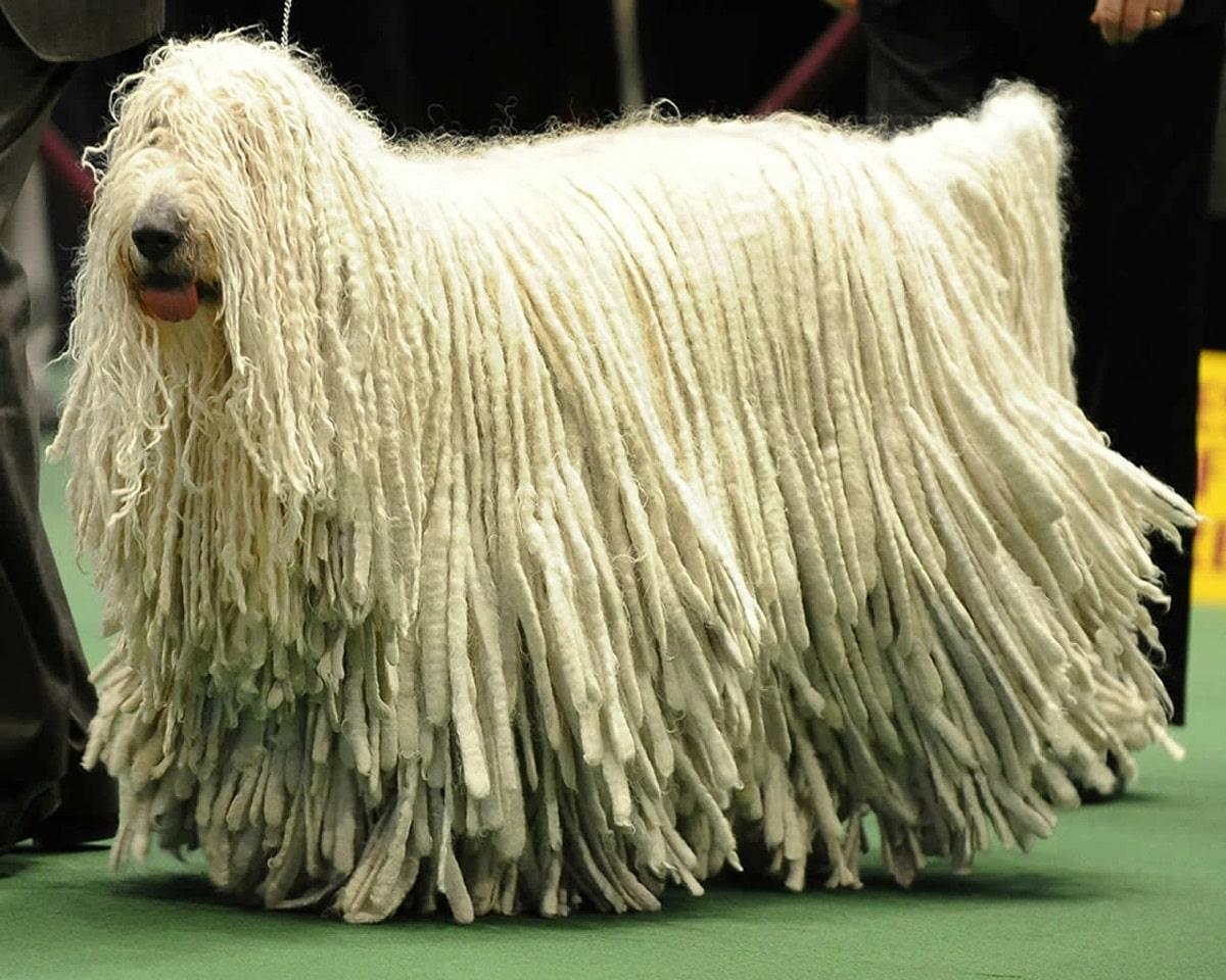 perro puli o tambien llamado hungaro