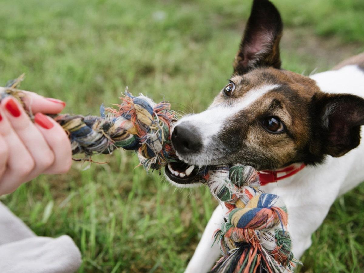 perro tirando de su juguete y con ojos saltones
