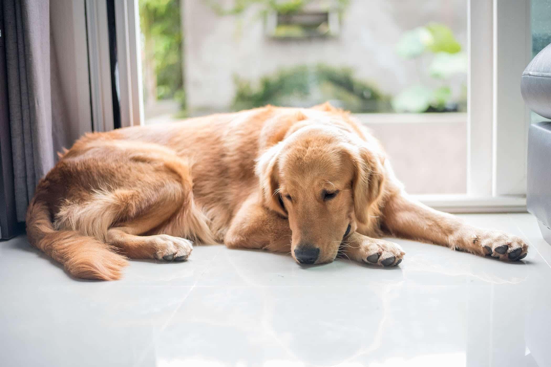cómo inmovilizar un perro herido