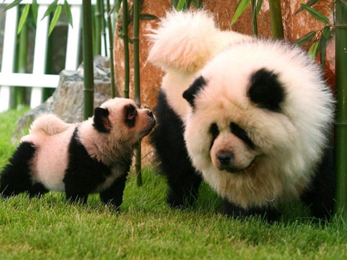perros de la raza Chow Chow que los pintan como Pandas