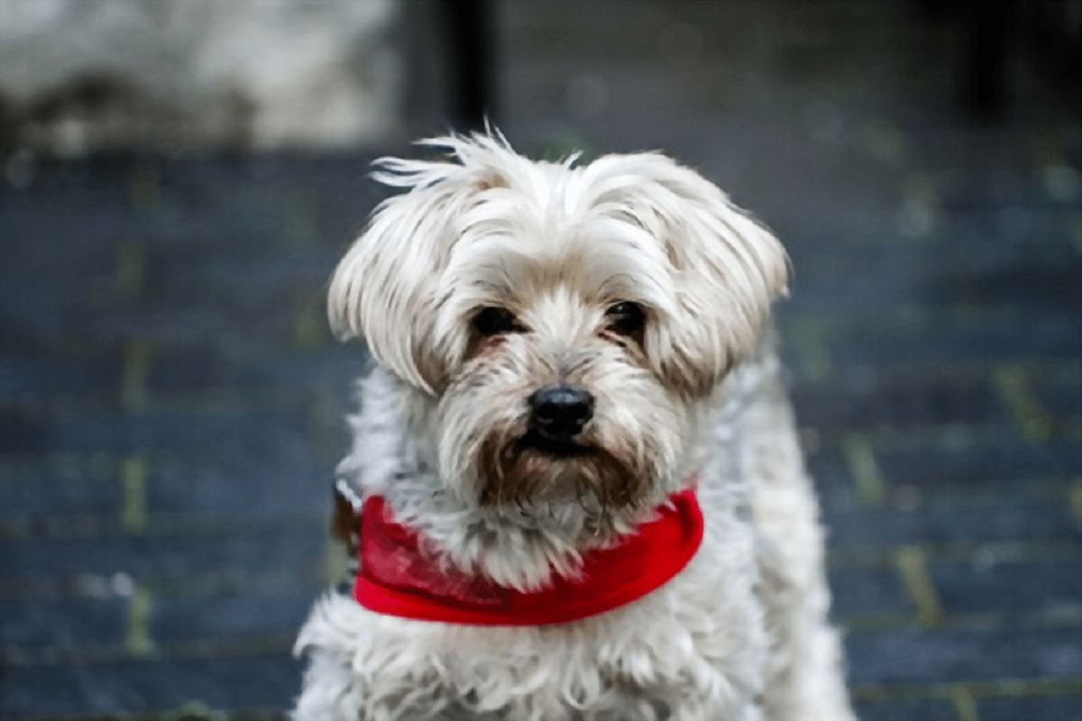 precioso perro de pelo corto de la raza Yorkie poo