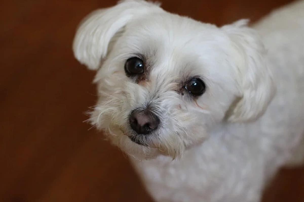 cara tierna de perro blanco con ojos marrones