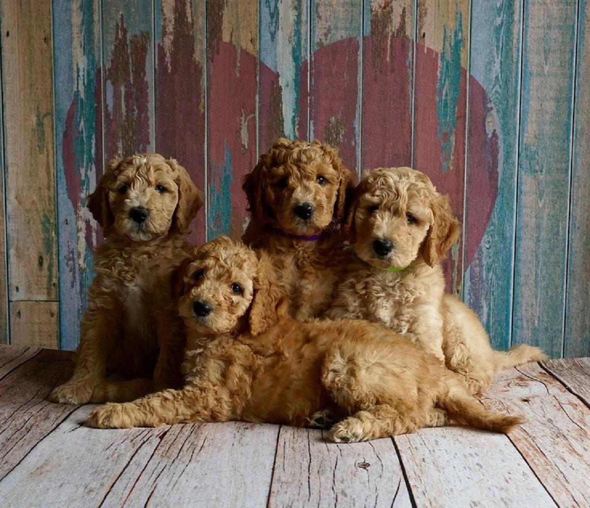 cuatro cachorros de color marron posando para foto