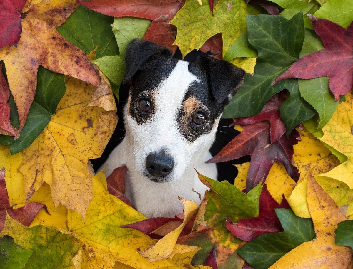 El oído del perro es mucho más sensible que el humano
