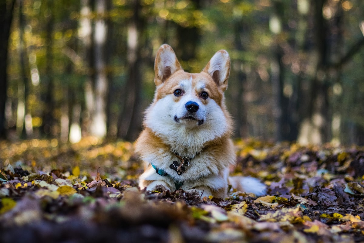 Los oídos de los perros se han decuidar