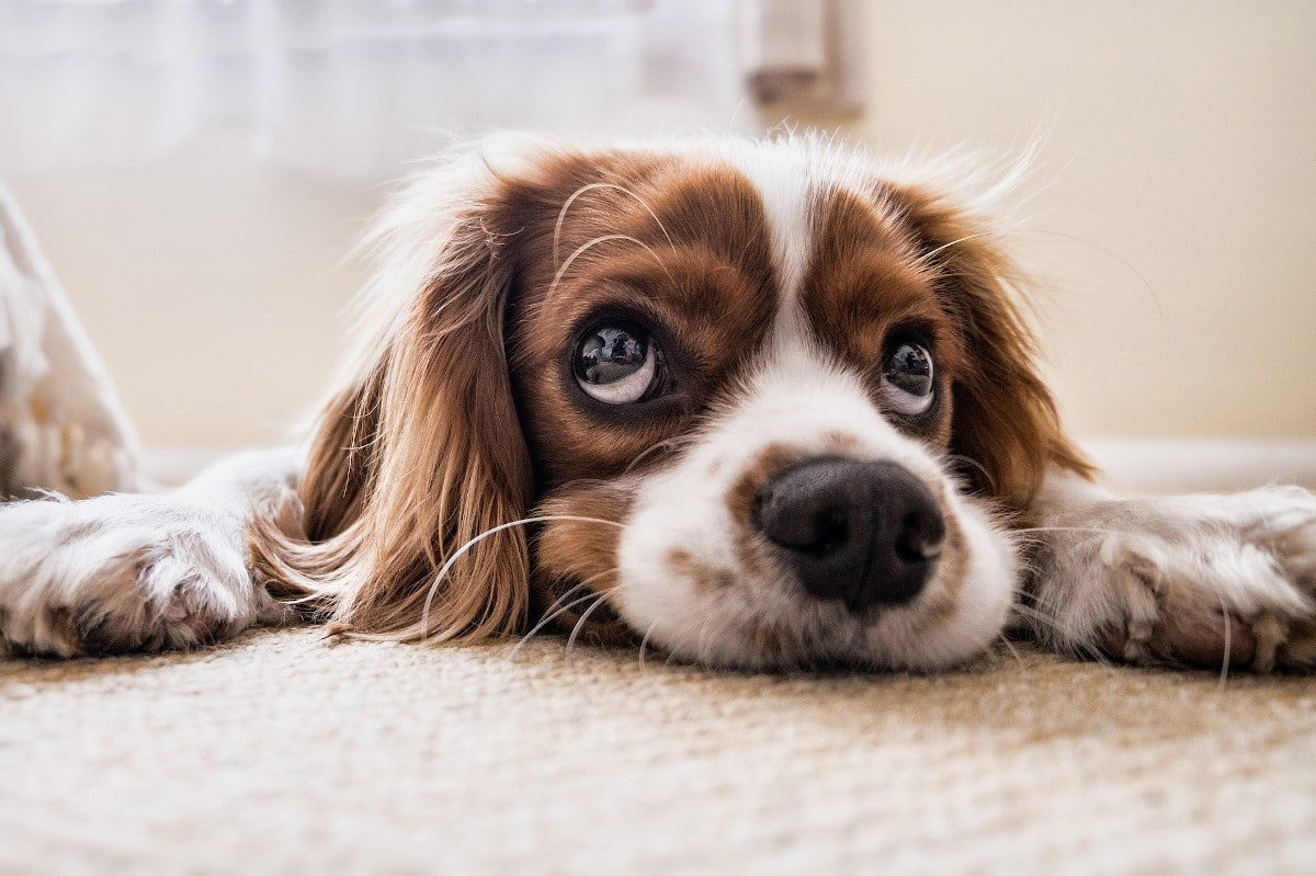 Los oídos de los perros son muy sensibles
