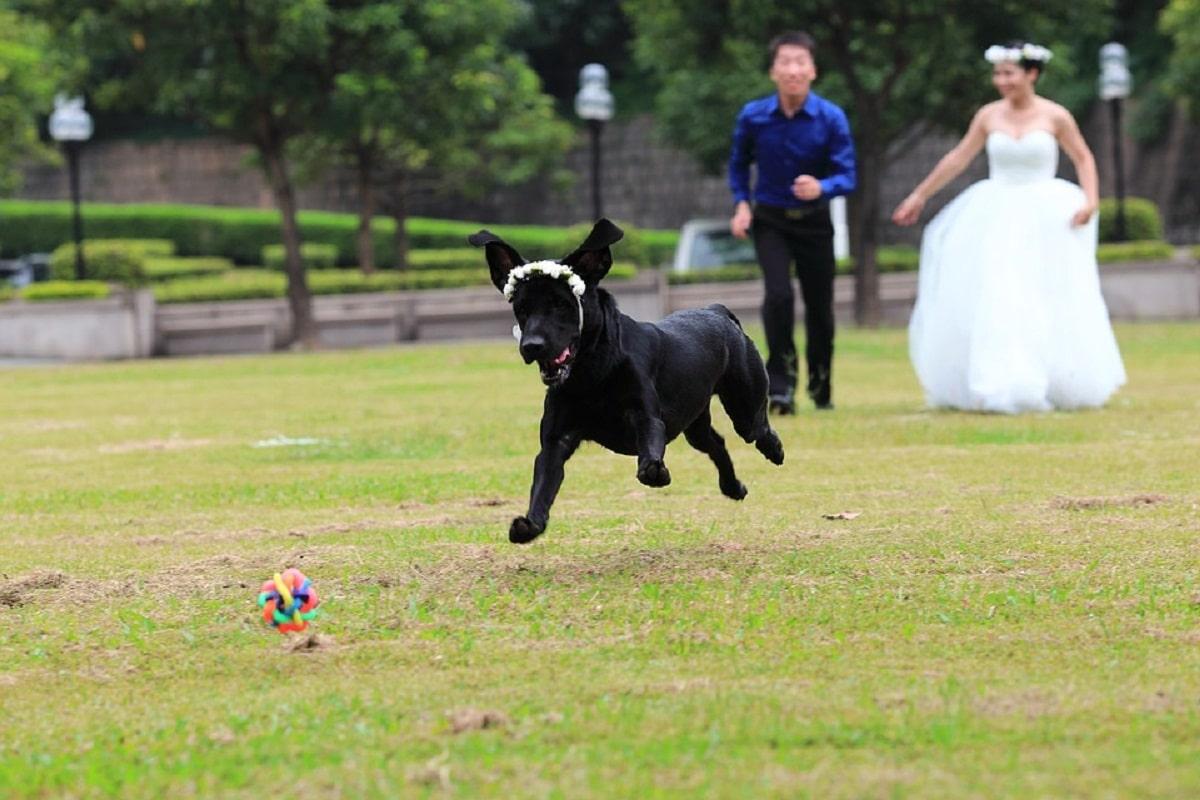 pareja de novios corriendo detras de perro negro