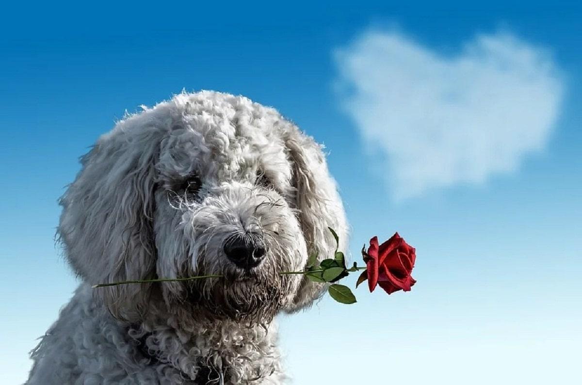 perro de aguas de color blanco con una rosa en la boca