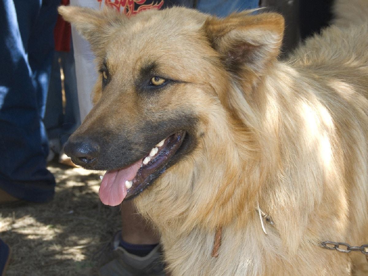 perro de color marron de la raza Pastor Garafiano