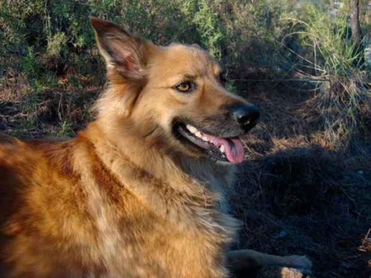perro de color marron tumbado y con la lengua fuera