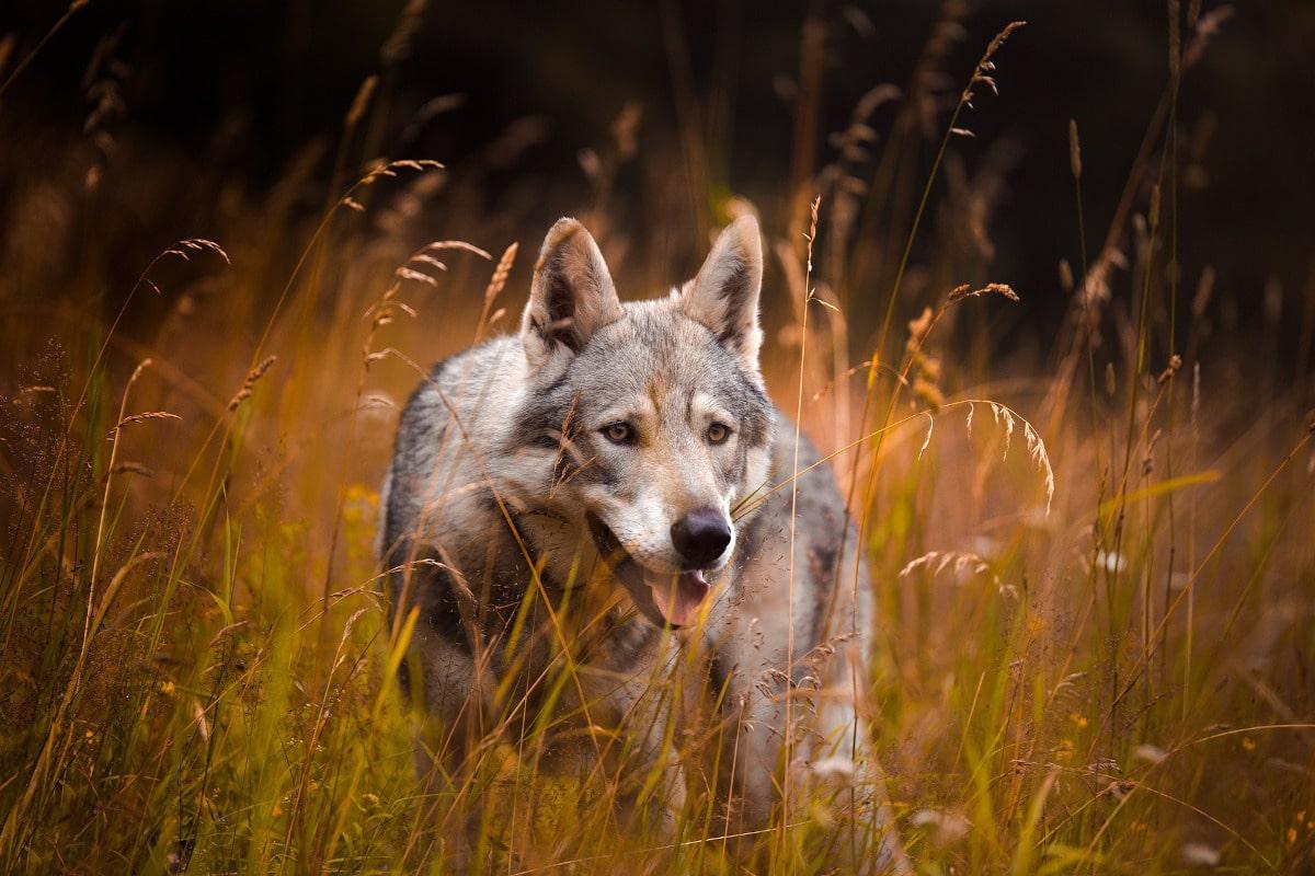 Los perros descienden de los lobos