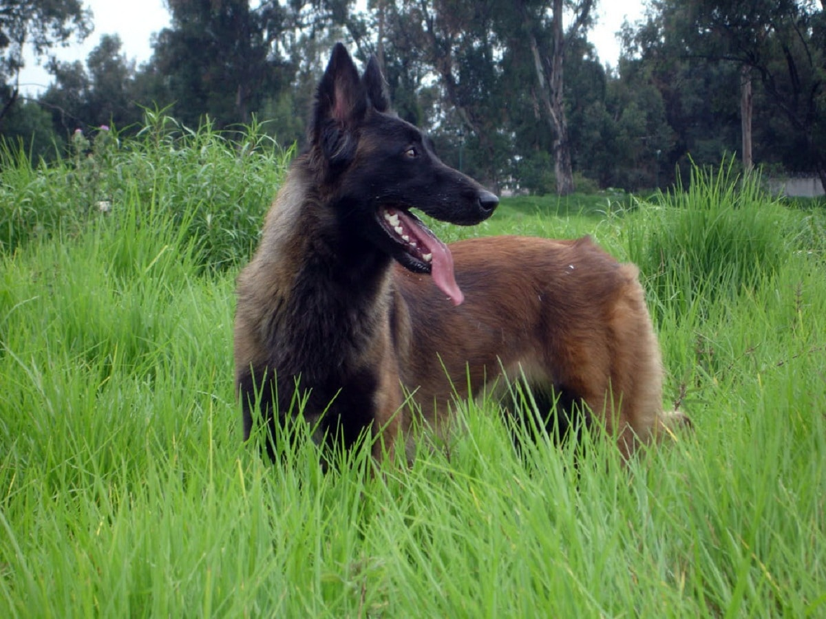 perro de la raza Pastor belga tervueren en la hierba