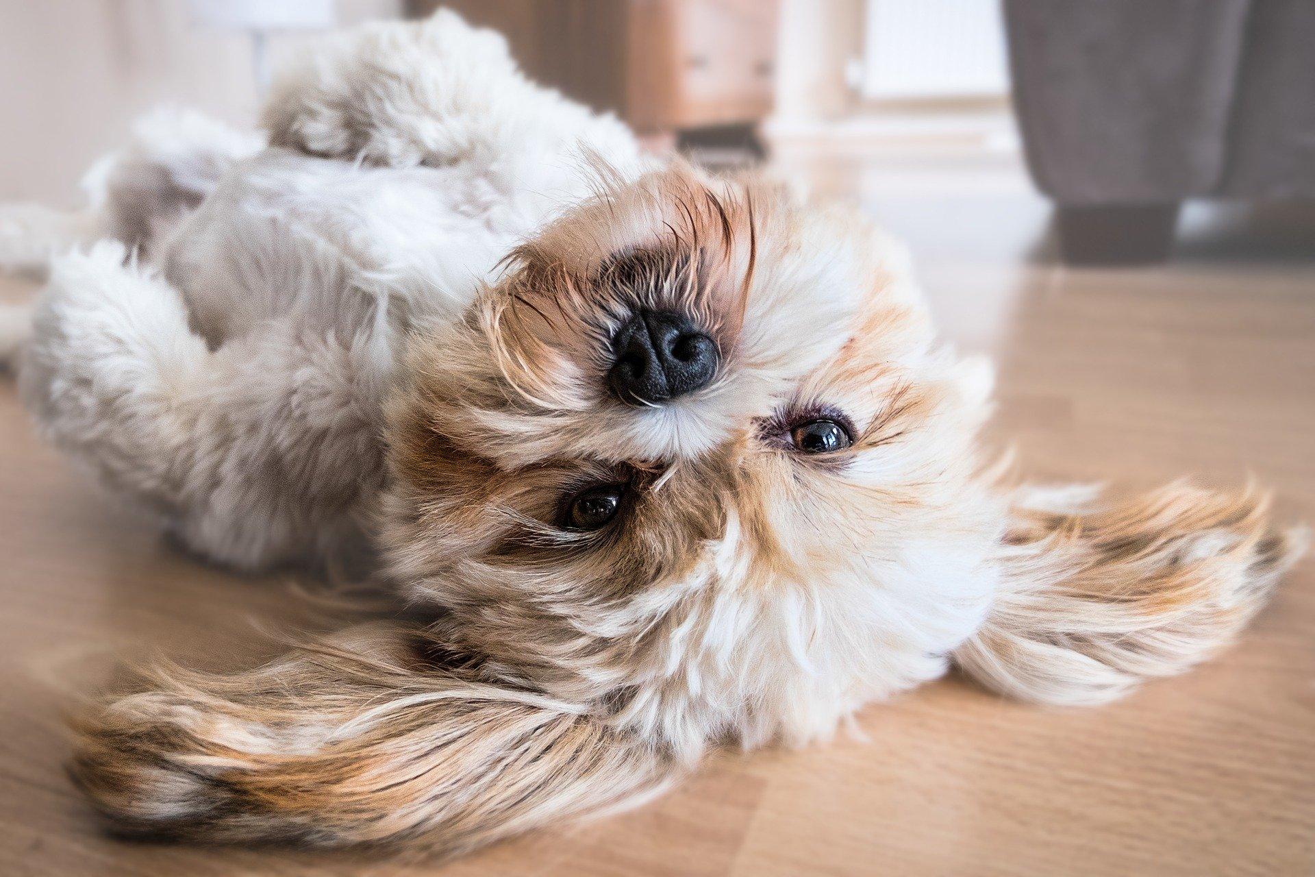Descubre por qué el perro tiene la barriga hinchada