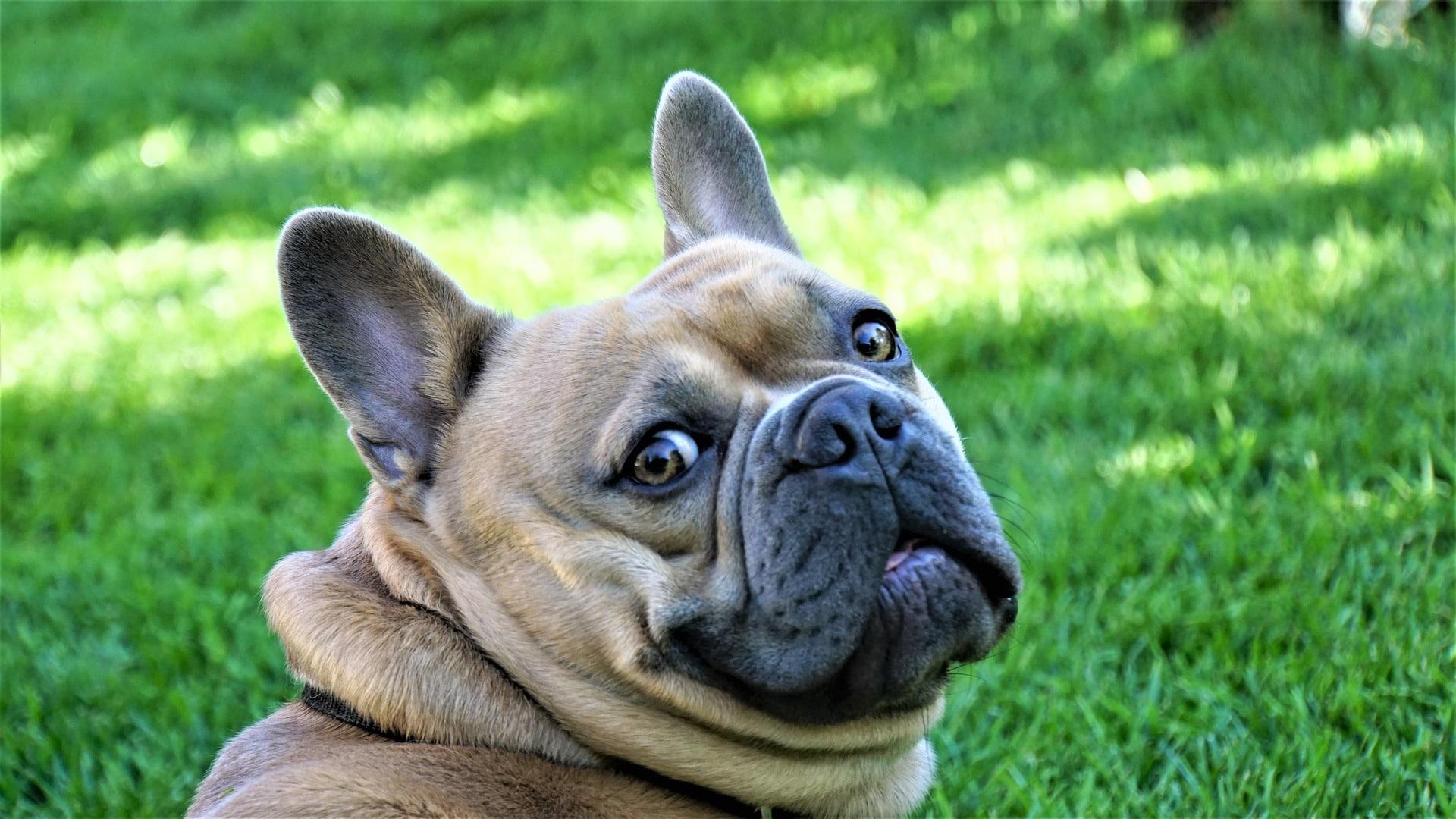 La cera negra en perros es causada por infección o ácaros
