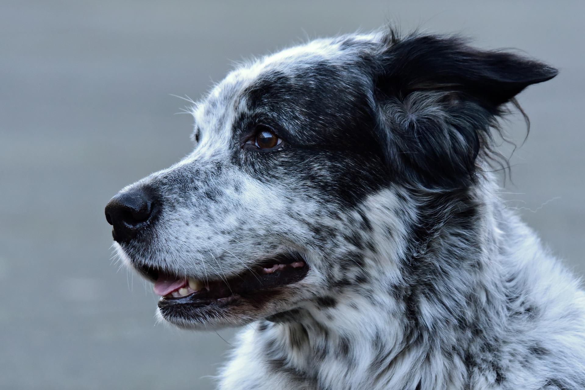 Limpia los oídos del perro con suavidad