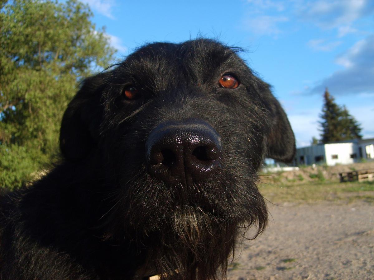 Las perras esterilizadas pueden tener el celo