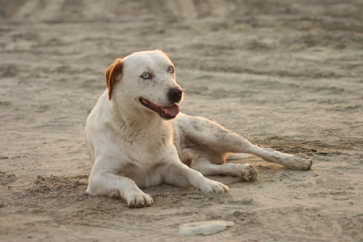 Si tu perra está castrada, puede tener un falso embarazo
