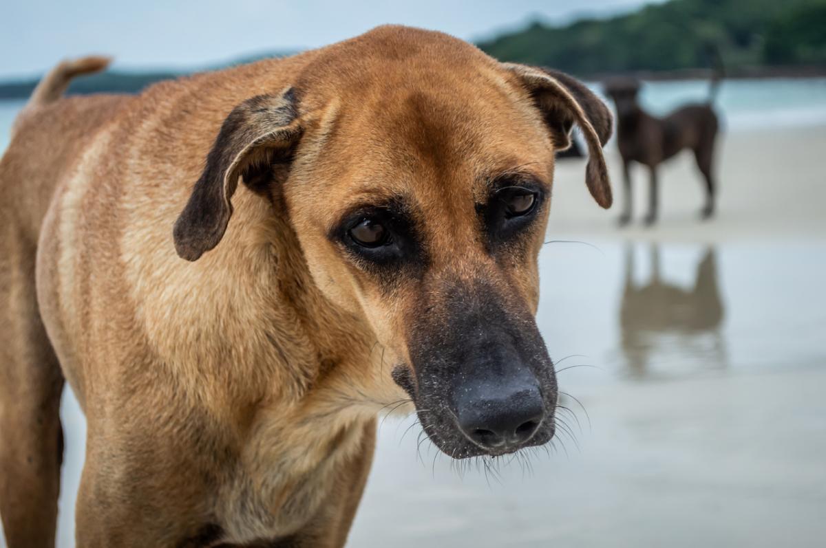 Las perras pueden tener falsos embarazos