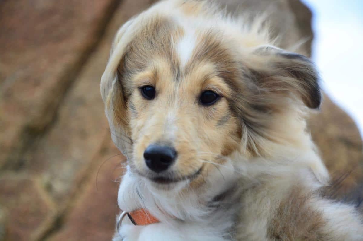 Los perros pueden tener costras en la cabeza