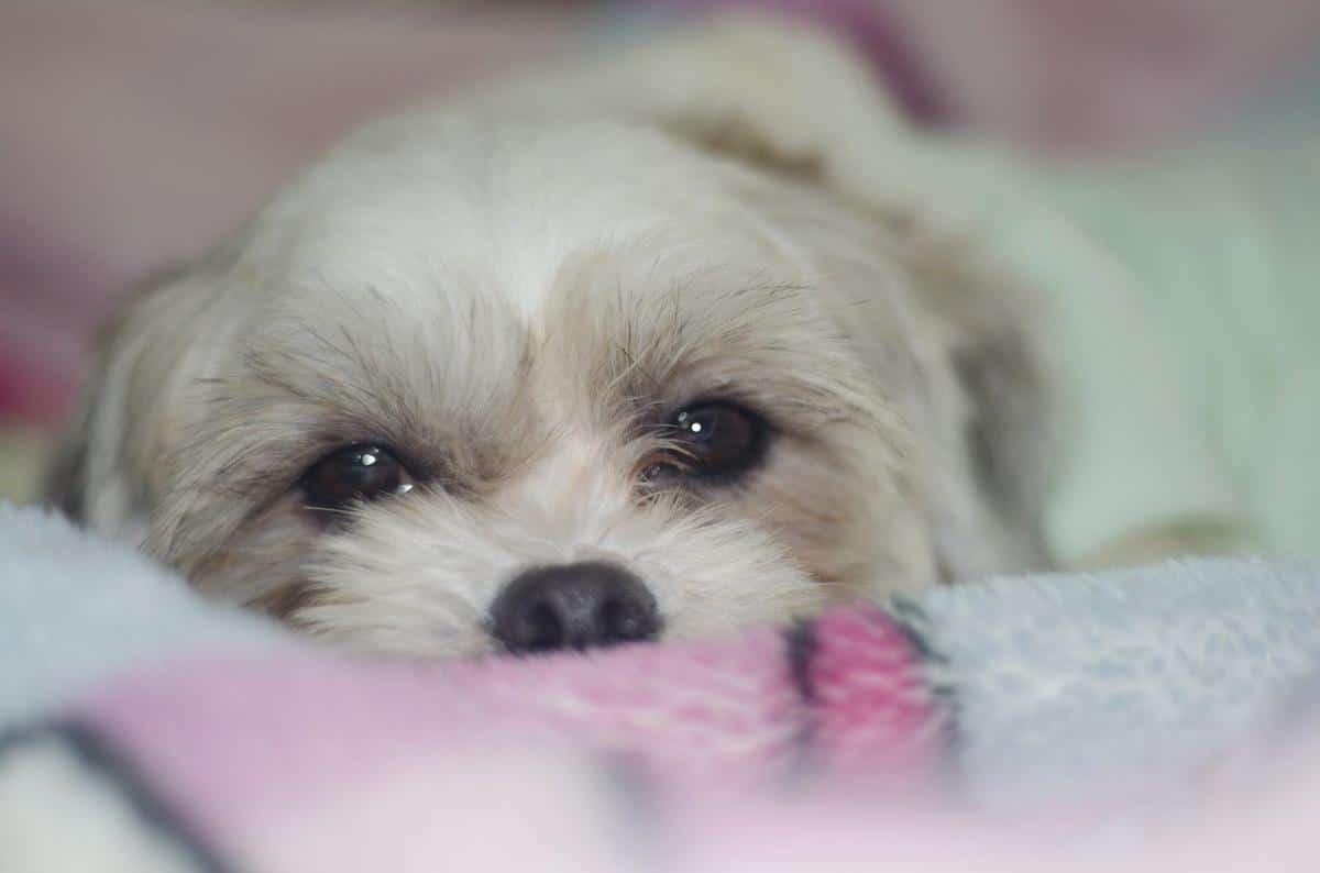 Si tu perro se ha tragado un calcetín tienes que ayudarle