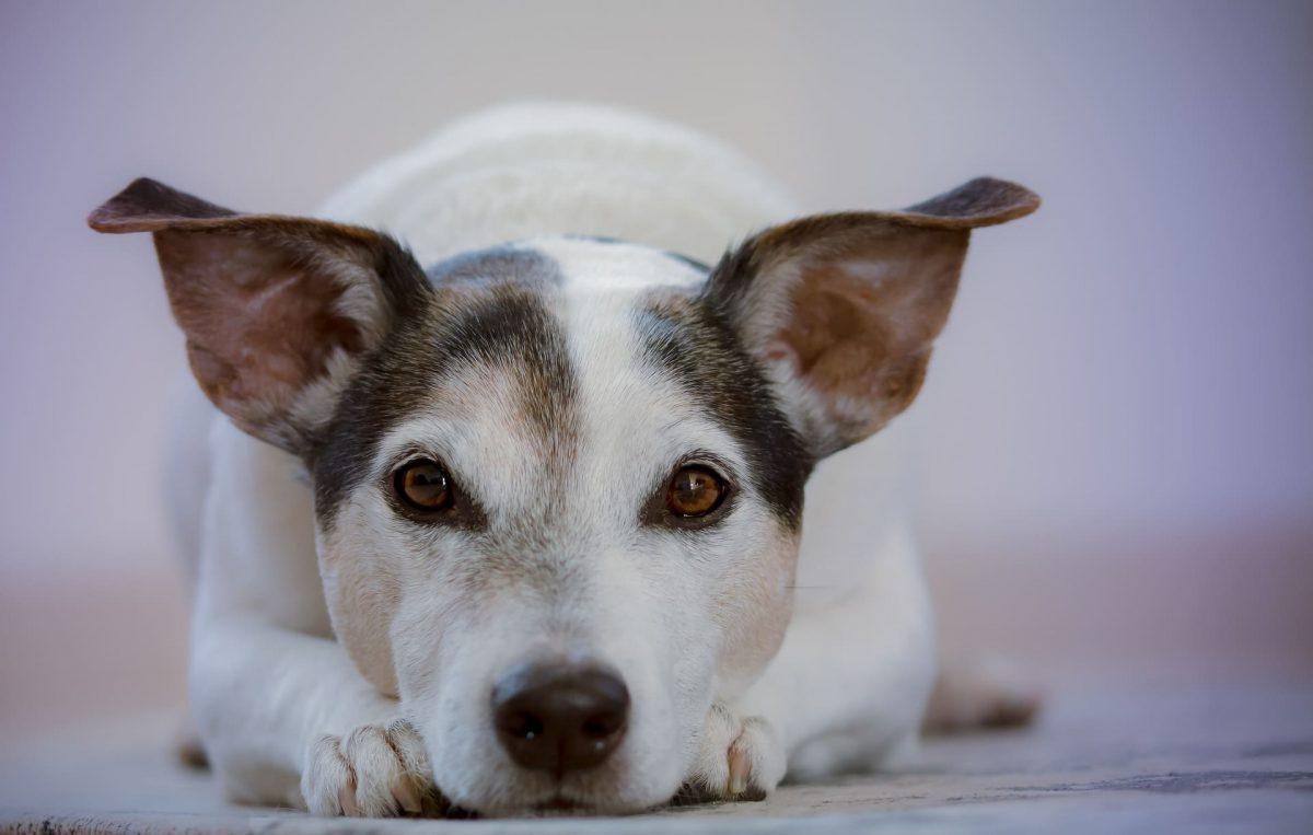 Hay varios motivos por los que un perro camina en círculos