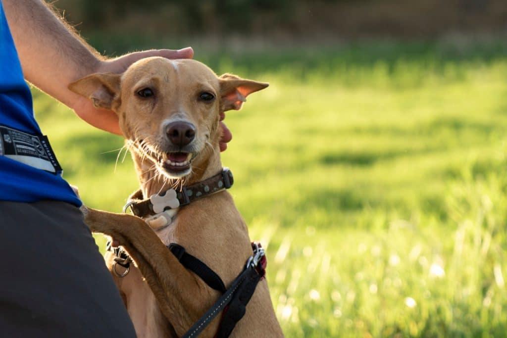 Arneses para Perros Campo