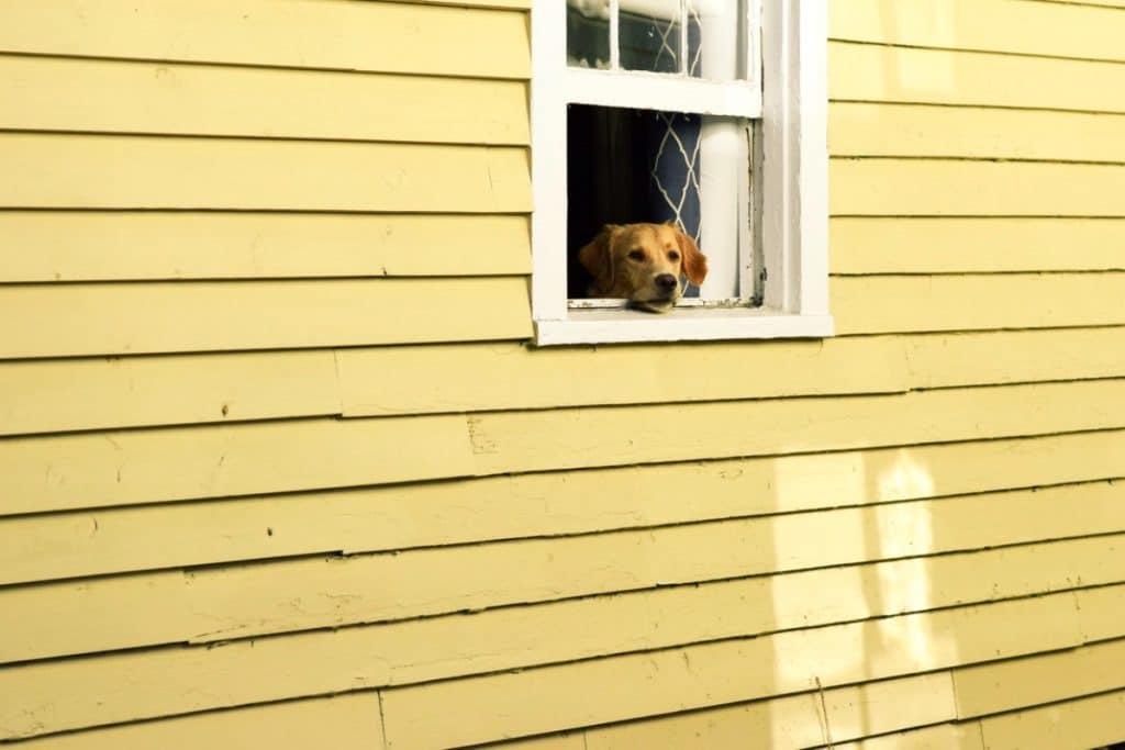 Perro mirando desde casa amarilla