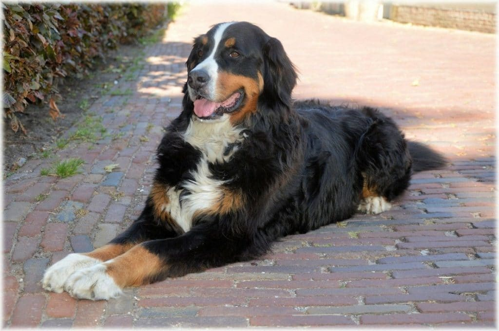 Perro negro muy grande sonriendo