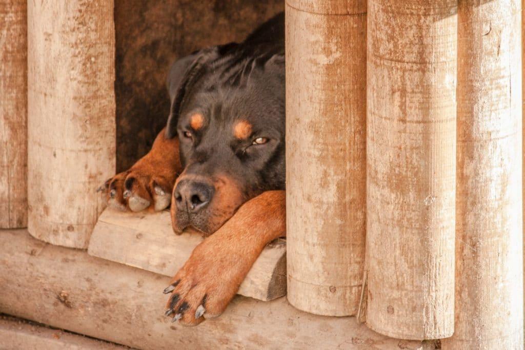Perro grande dentro de casa de madera