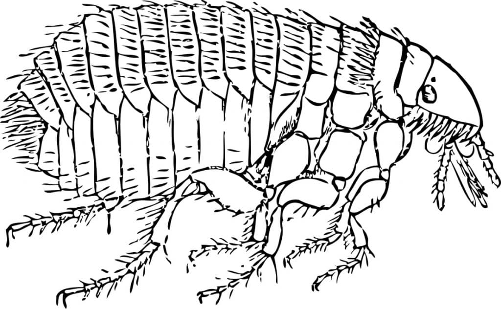 Dibujo de pulga