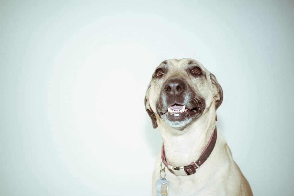 Perro blanco con collar