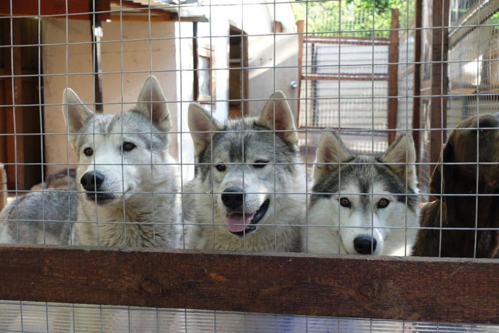 Huskies tras una valla