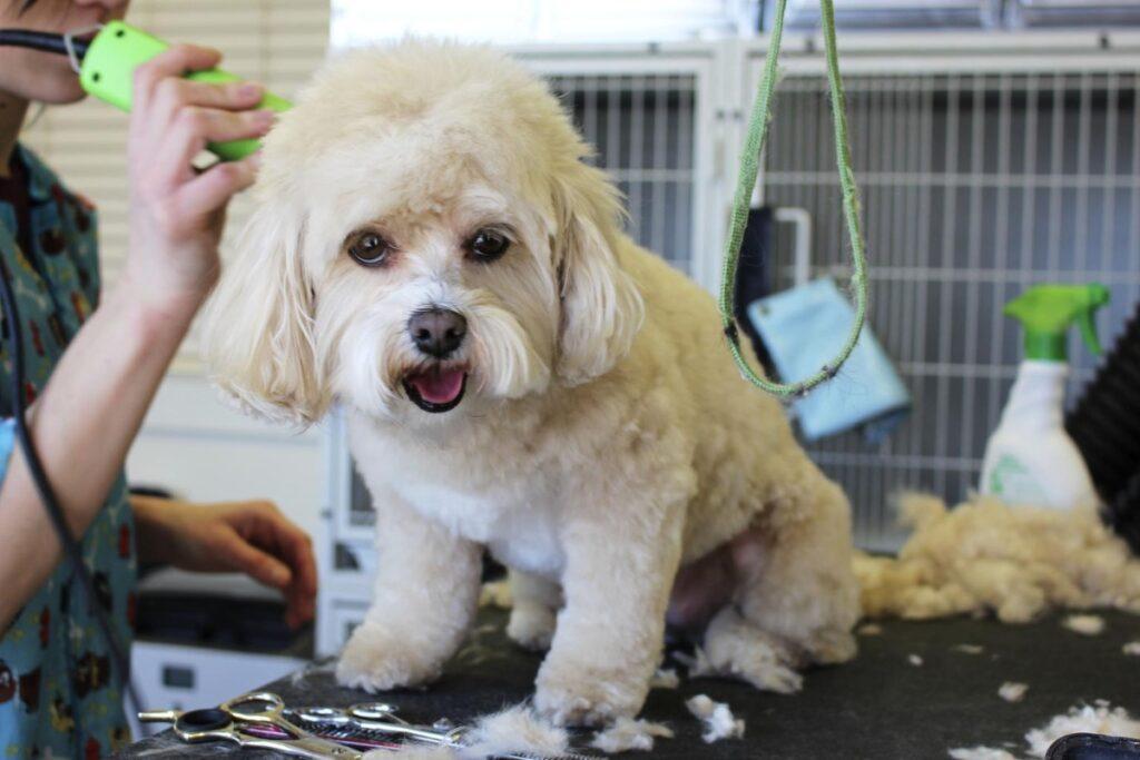 Perro blanco en peluquería