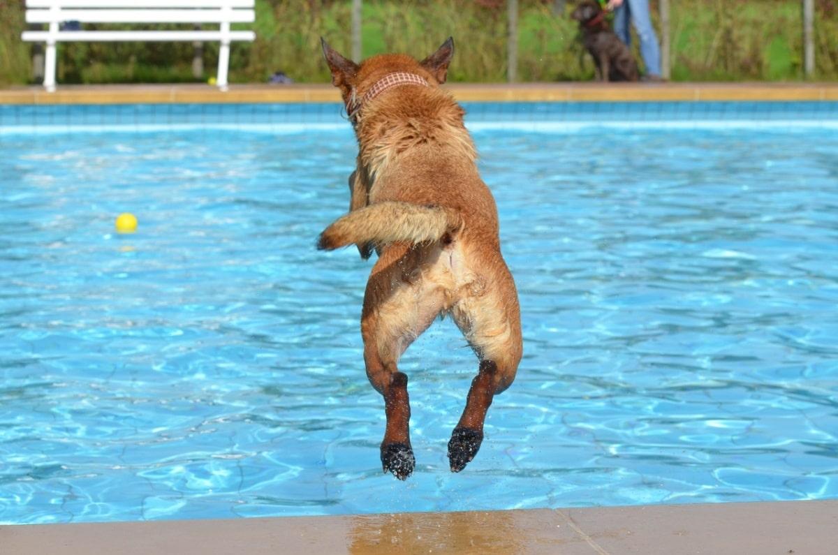 Câine sărind într-o piscină