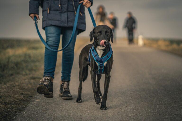 Perro paseando con arnés y dueño
