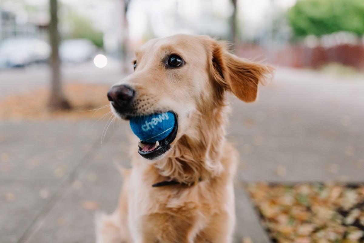 Câine cu o minge albastră în gură