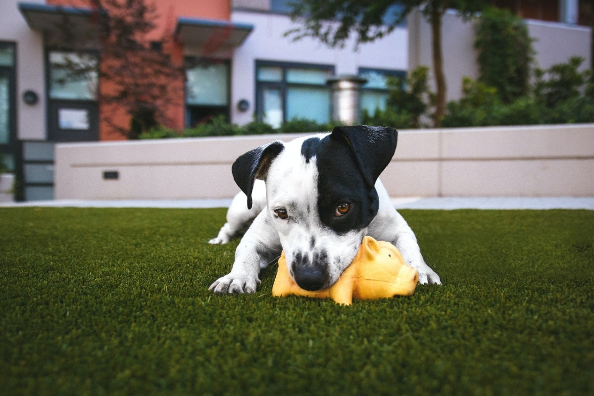 Un câine se joacă cu un porc de jucărie