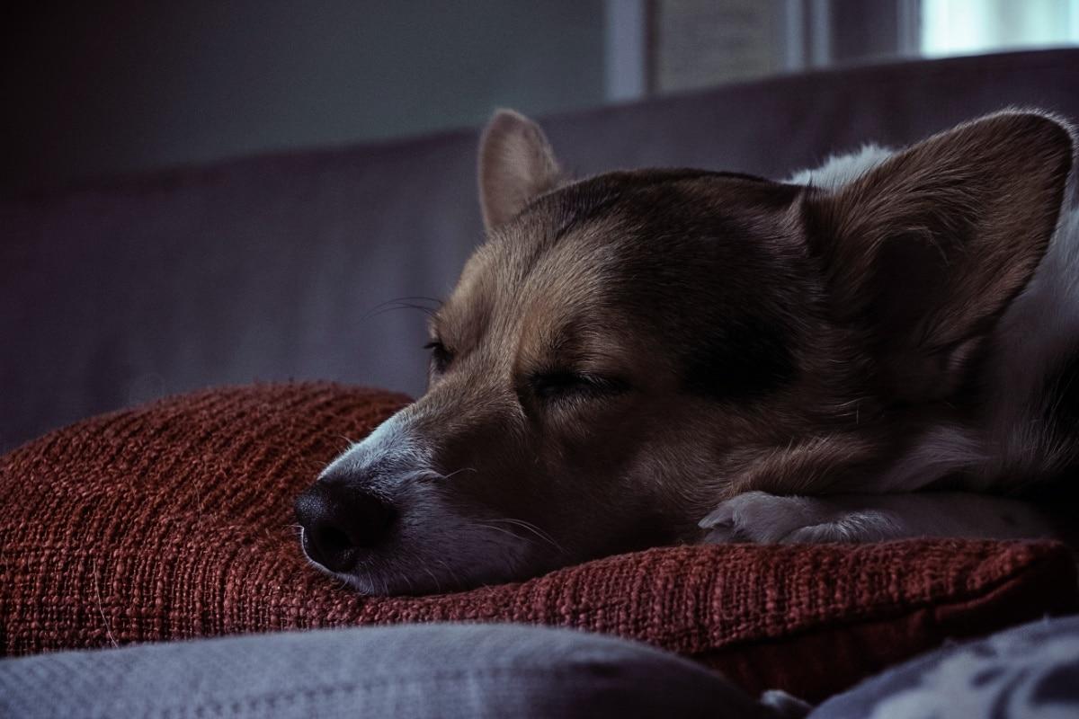 Un perro se echa una siesta en un cojín