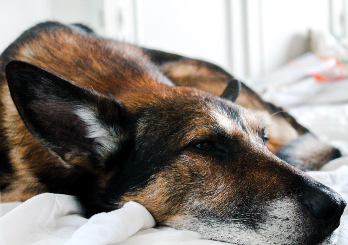 Perro grande sobre un colchón