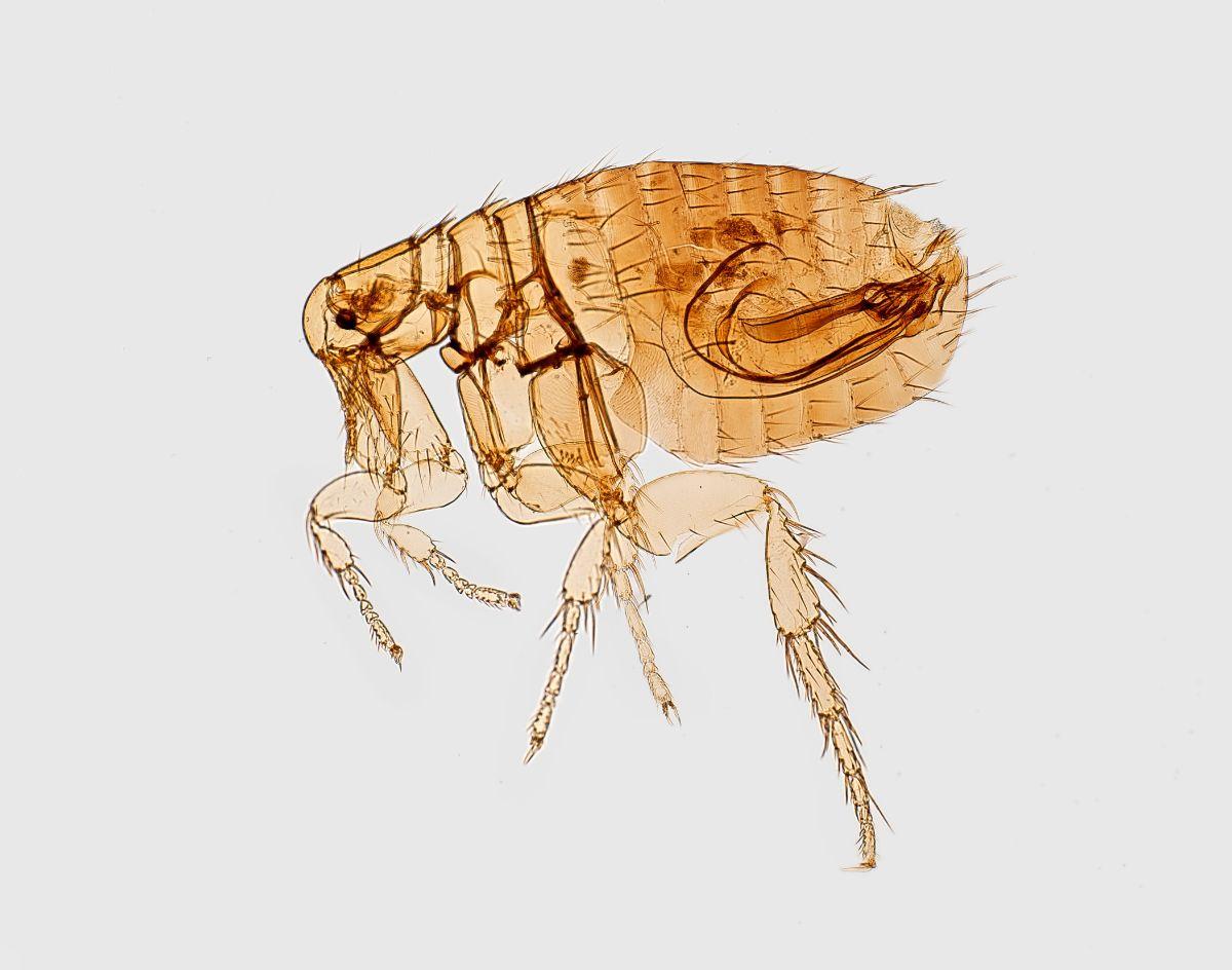 Un pulga