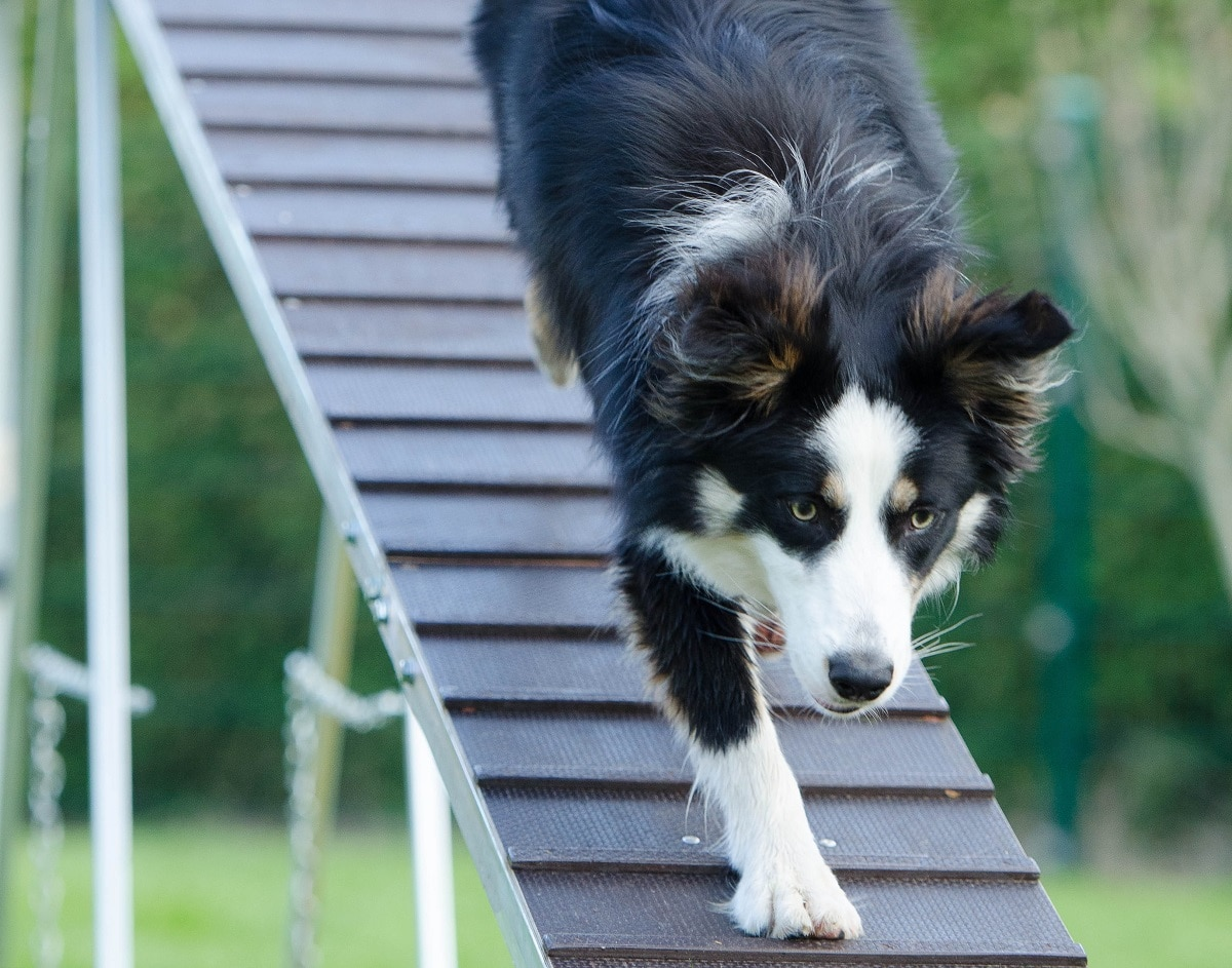 Rampa para perros