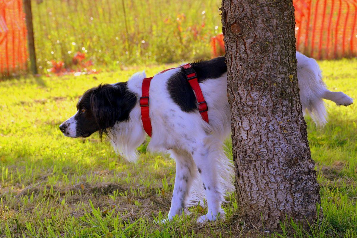 odstrániť zápach moču psa