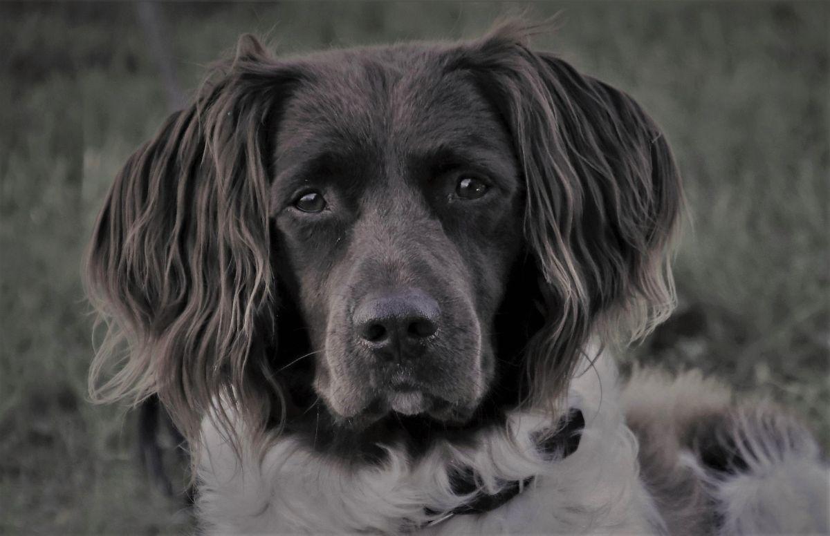 Cómo limpiar las orejas a un perro
