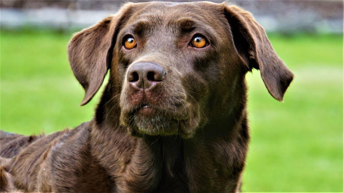 Cómo prevenir problemas de oído en perros